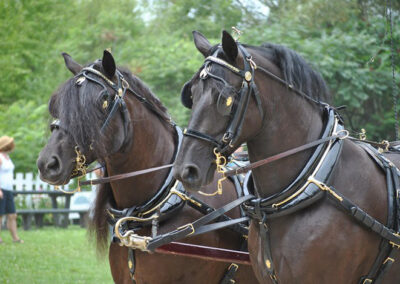 Cheval Canadien, Société des éleveurs de chevaux Canadiens (SECC)
